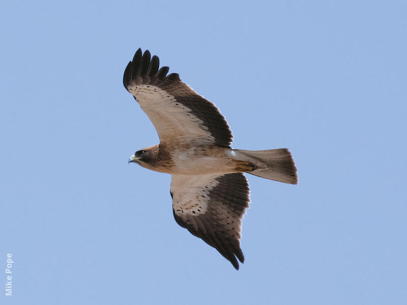 Booted Eagle (Pale morph)