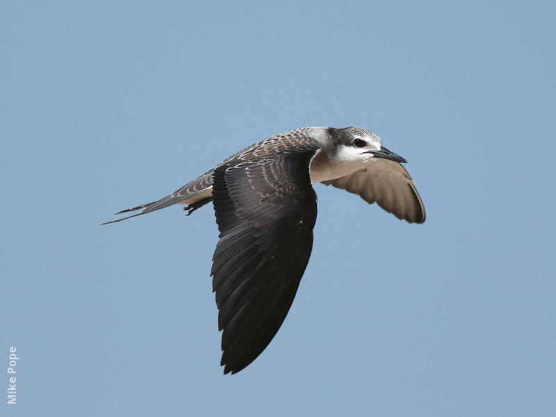 Bridled Tern (Juvenile)