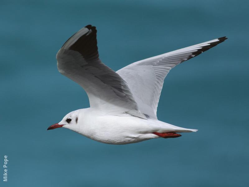 Common Black-headed Gull (Winter)