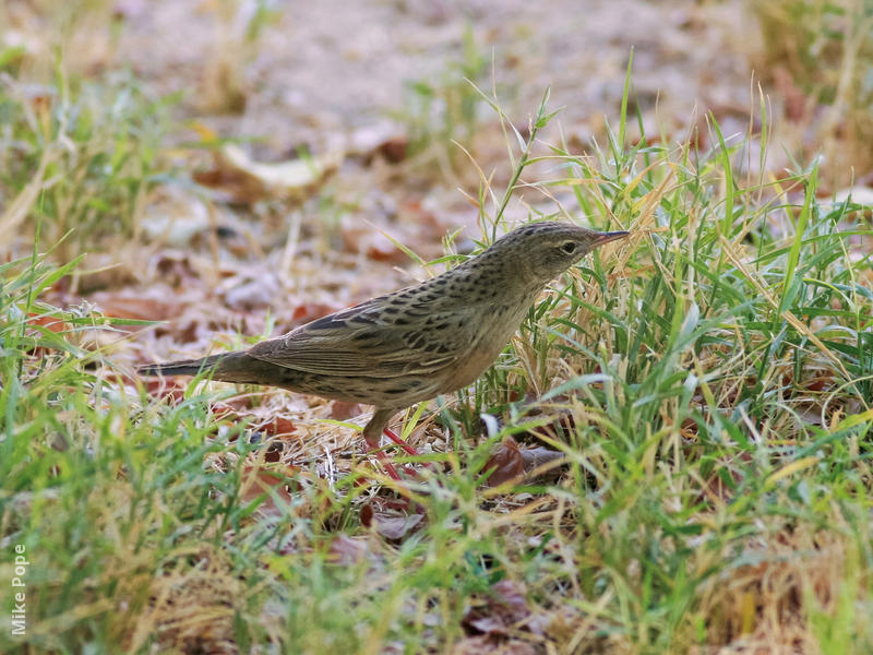 Common Grasshopper Warbler
