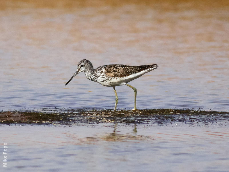 Common Greenshank (Breeding plumage)