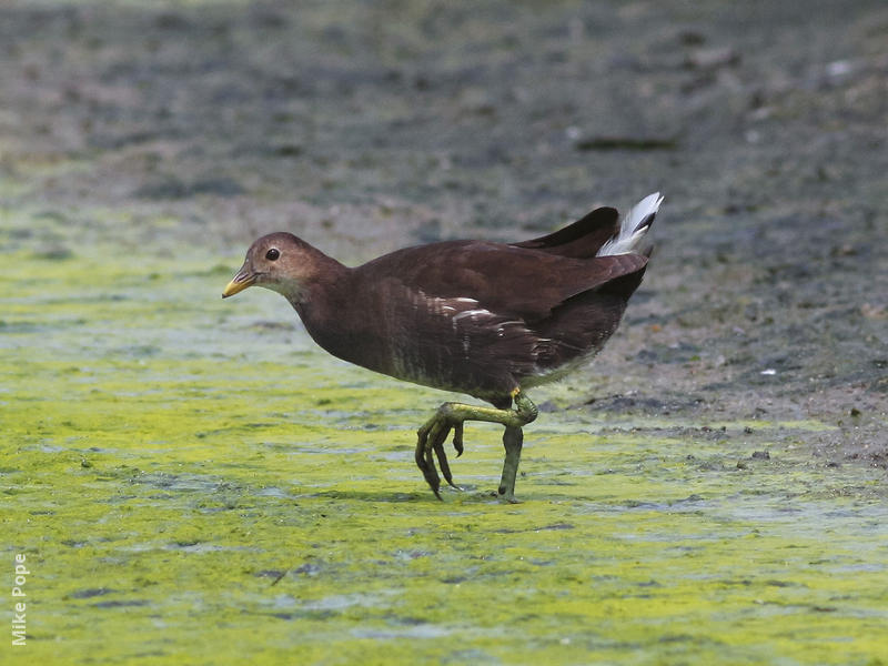 Common Moorhen (Immature)
