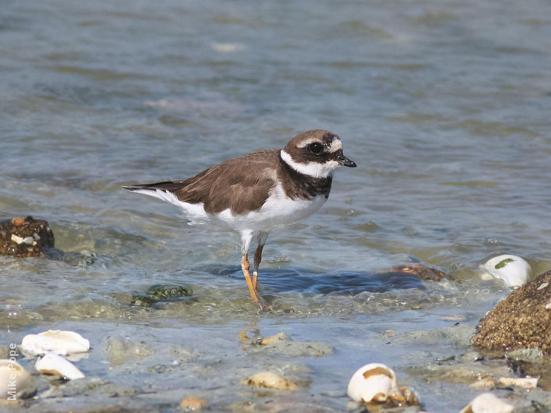 Common Ringed Plover (Non - breeding)
