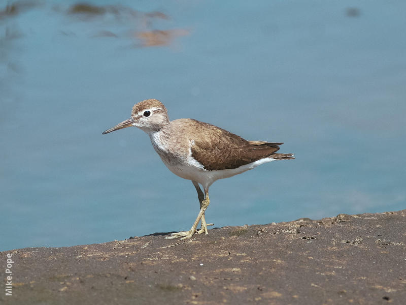 Common Sandpiper (Non - breeding)