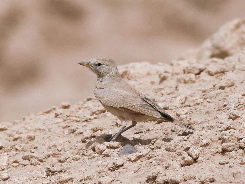 Desert Lark (Saudi Arabia)