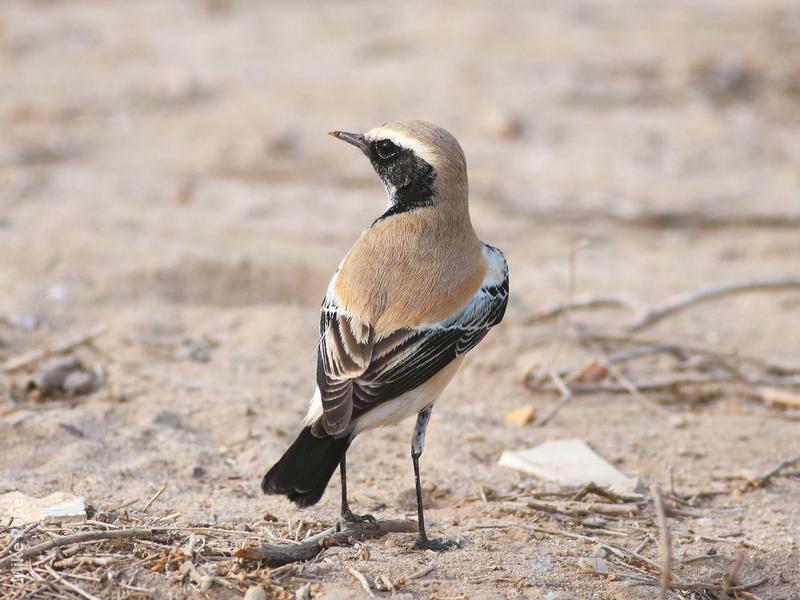 Desert Wheatear (Male)