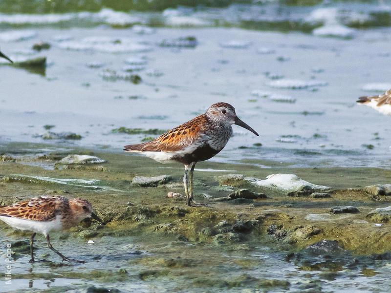 Dunlin (Breeding plumage)