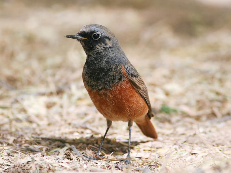 Eastern Black Redstart (Male breeding plumage)