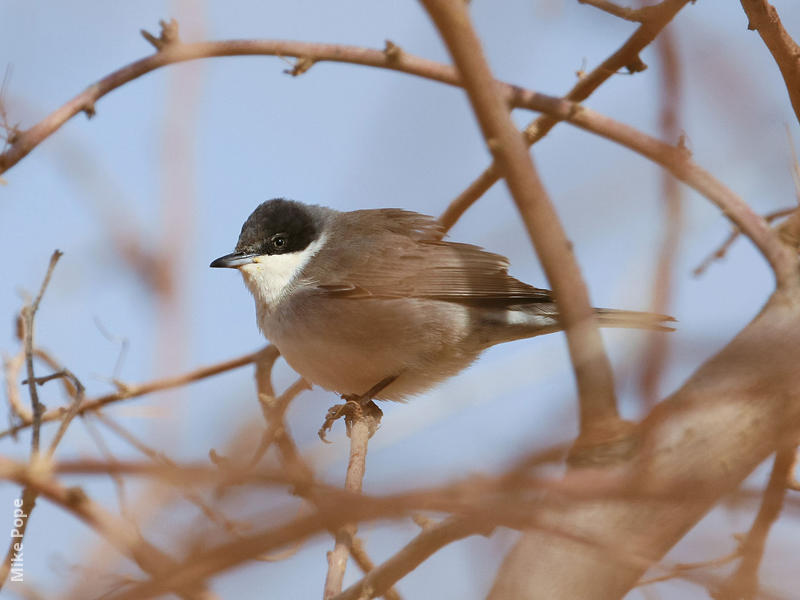 Eastern Orphean Warbler (Male autumn)