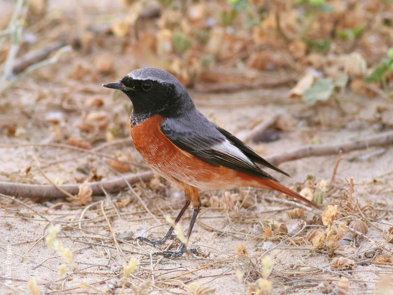 Ehrenberg's Redstart (Phoenicurus phoenicurus samamiscus)