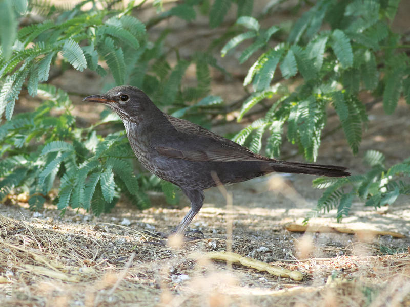 Eurasian Blackbird (Female)