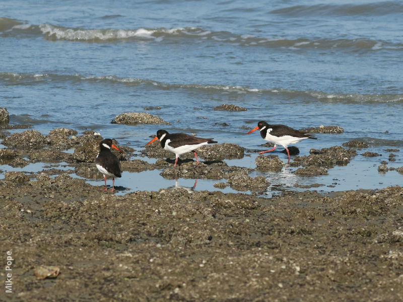 Eurasian Oystercatcher (Winter)