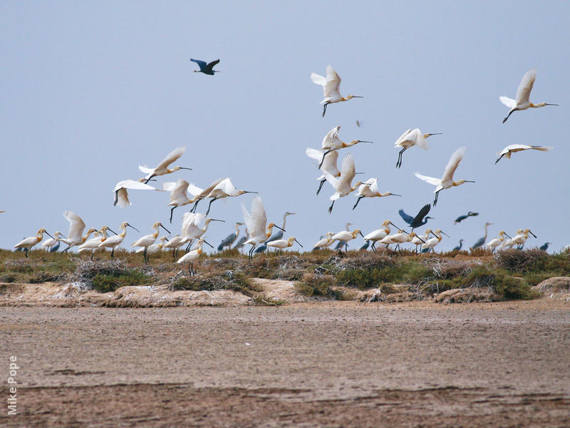 Eurasian Spoonbill (Colony on Bubiyan)