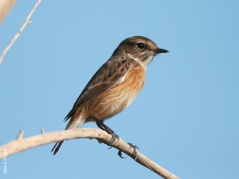European Stonechat (Female)