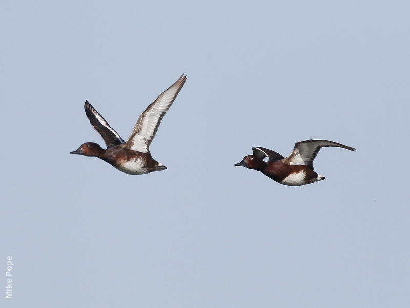 Ferruginous Duck (male and female)