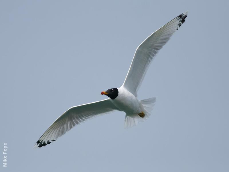 Great Black-headed Gull (Breeding plumage)