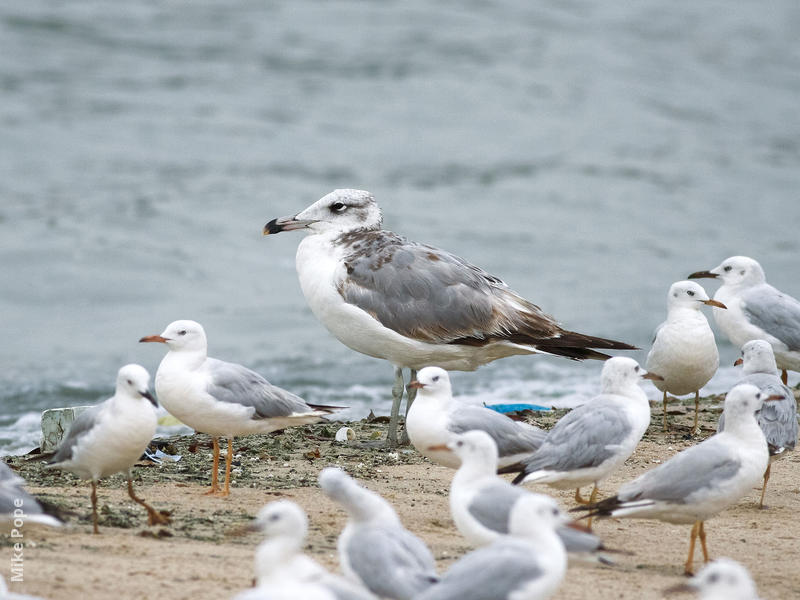 Great Black-headed Gull (Immature winter with Slender-billed Gulls)