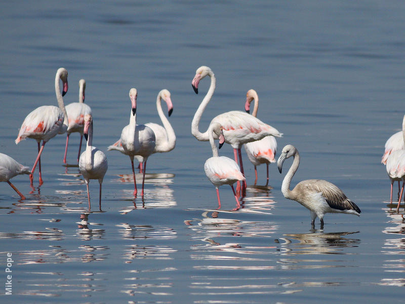 Greater Flamingos (Adults and a juvenile)
