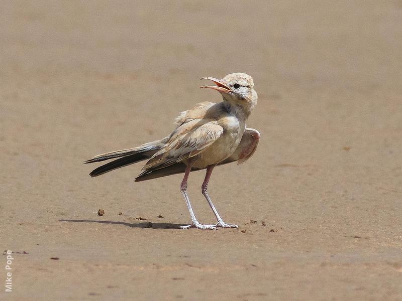 Greater Hoopoe-Lark (Juvenile summer)
