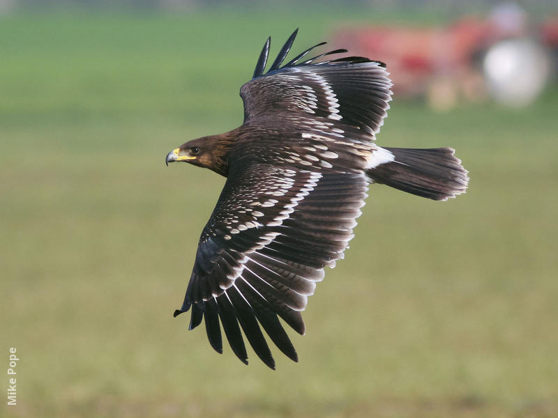 Greater Spotted Eagle (Juvenile)