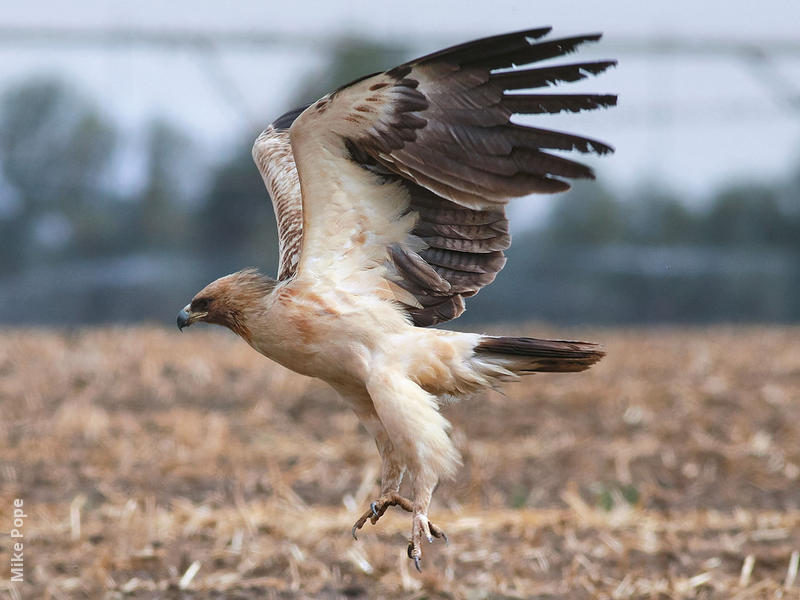 Greater Spotted Eagle (Pale morph, fulvescens)