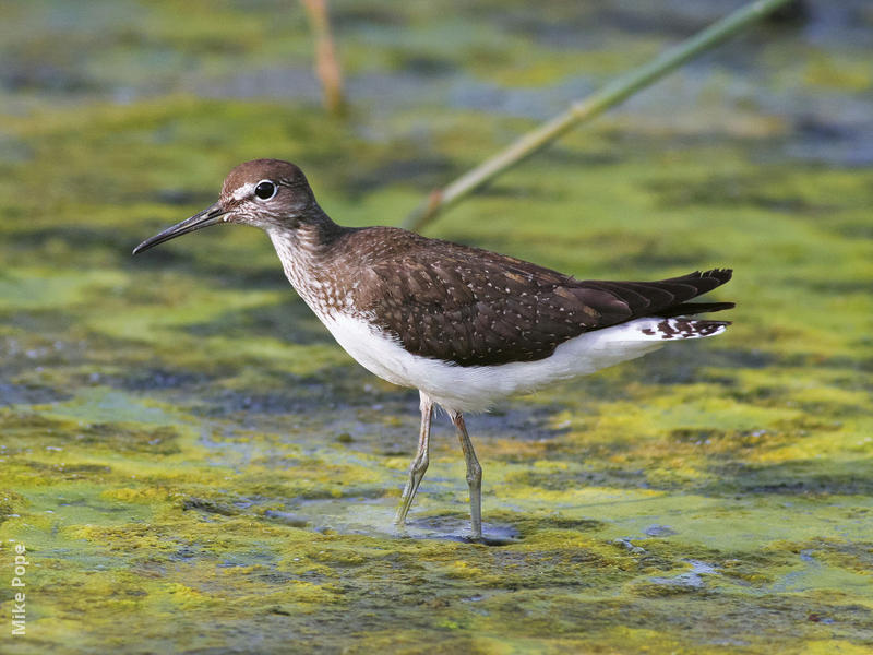 Green Sandpiper (Autumn)