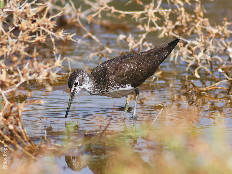 Green Sandpiper (Summer)