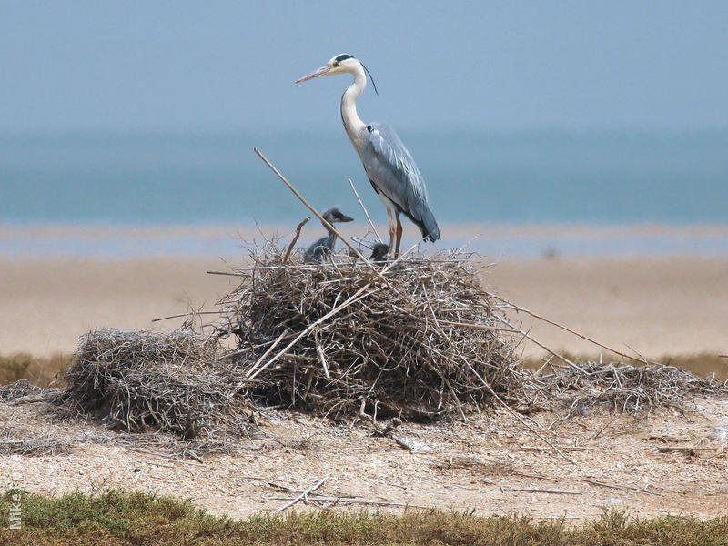 Grey Heron (Nest on Bubiyan)