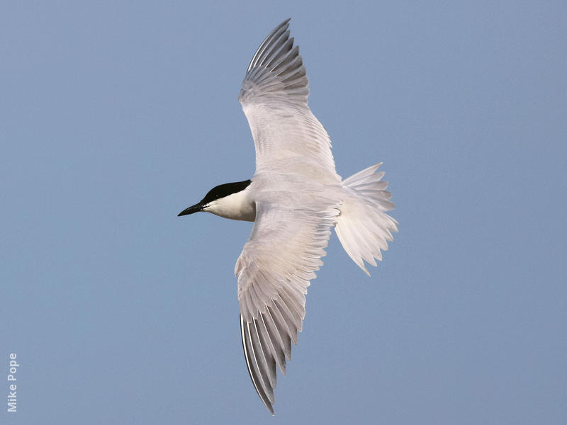 Gull-billed Tern (Breeding plumage)