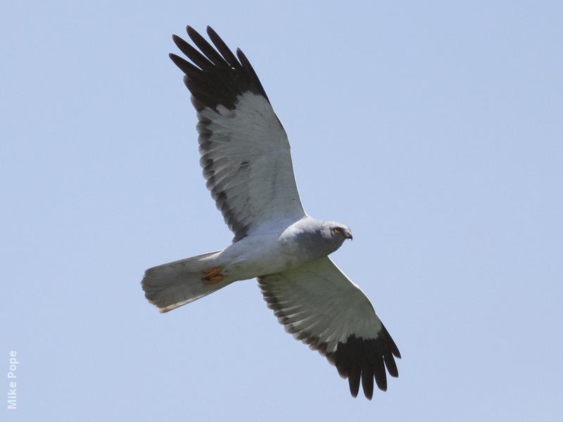 Hen Harrier (Male)
