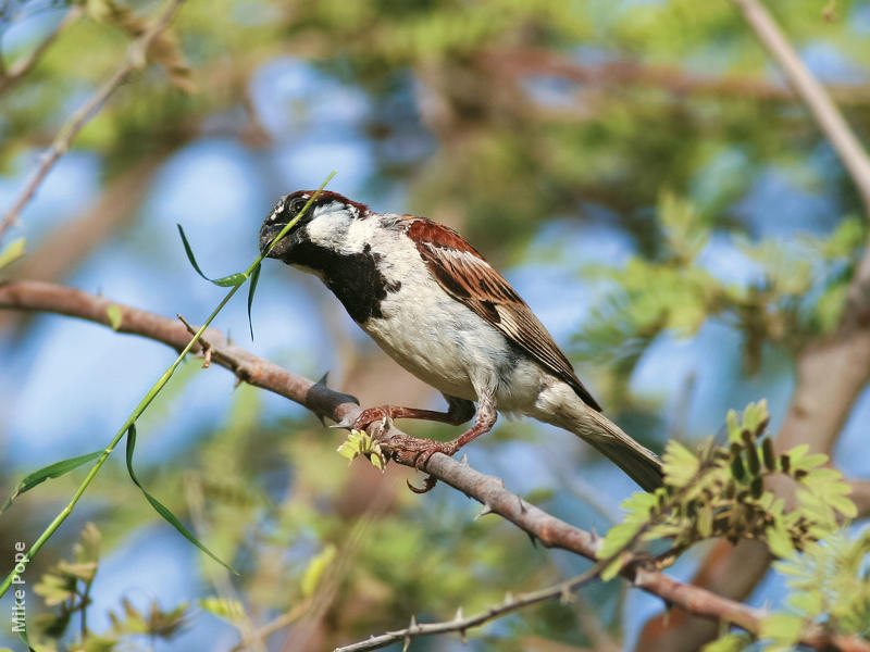 House Sparrow (Male breeding plumage)