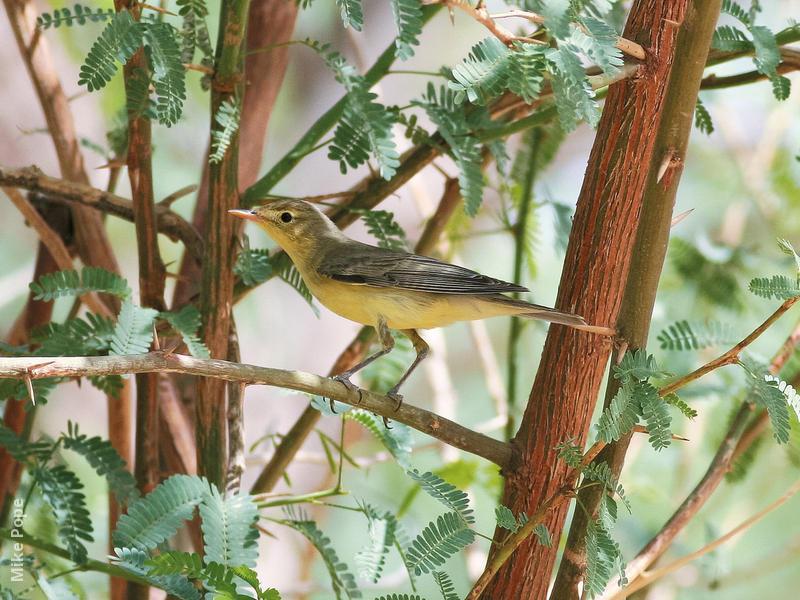 Icterine Warbler (Spring)