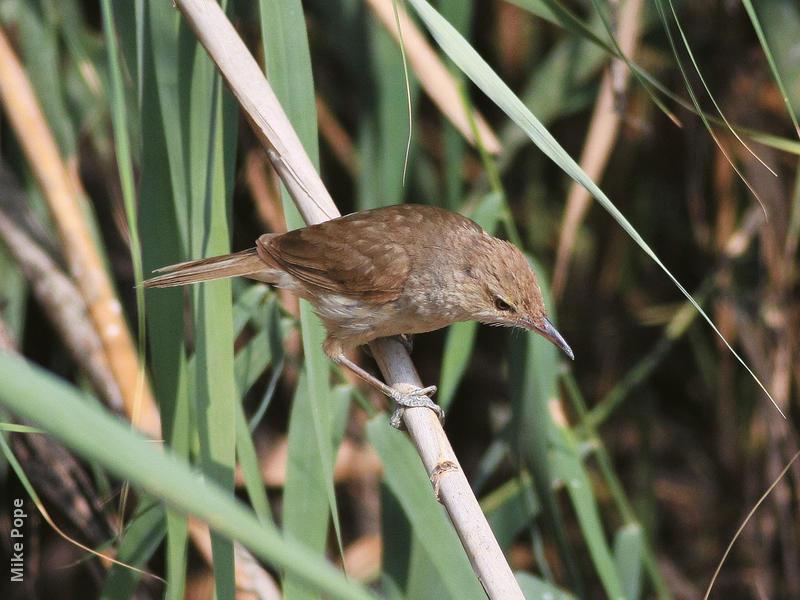 Indian Reed Warbler (Juvenile)