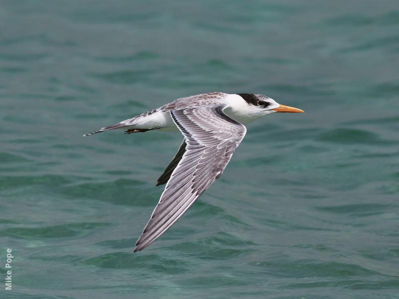 Lesser Crested Tern (Juvenile)