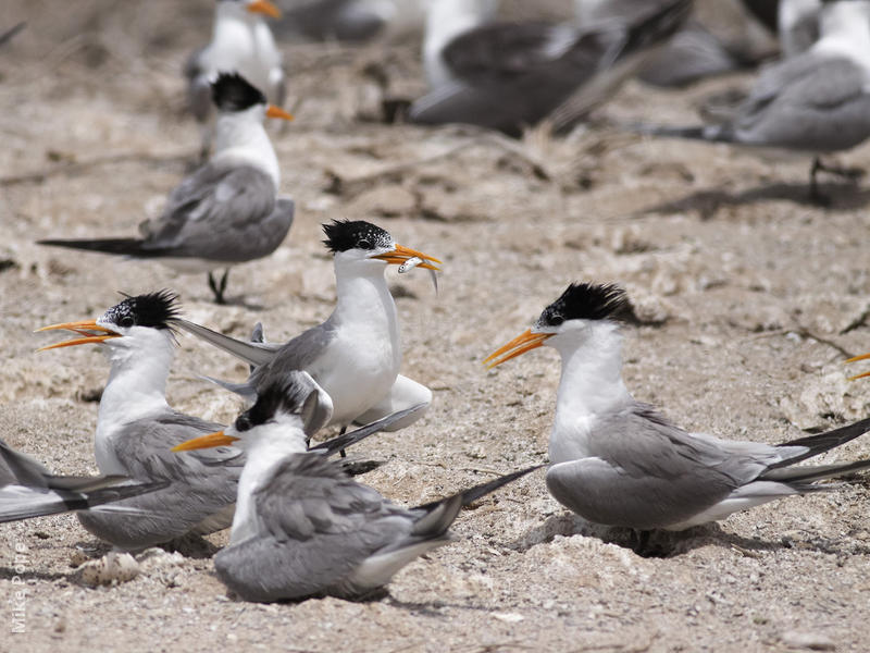 Lesser Crested Tern (Nesting colony)