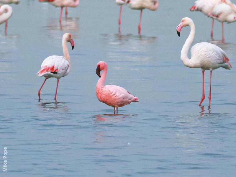 Lesser Flamingo (Among Greater Flamingos)