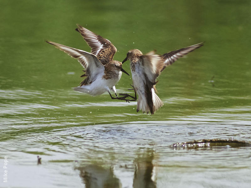 Little Stints (Summer)