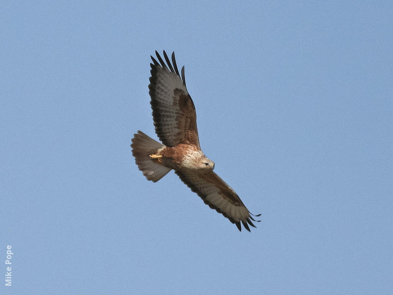 Long-legged Buzzard (Rufous morph)