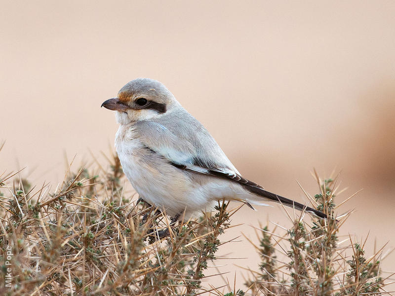 Mauryan Grey Shrike (Immature winter)