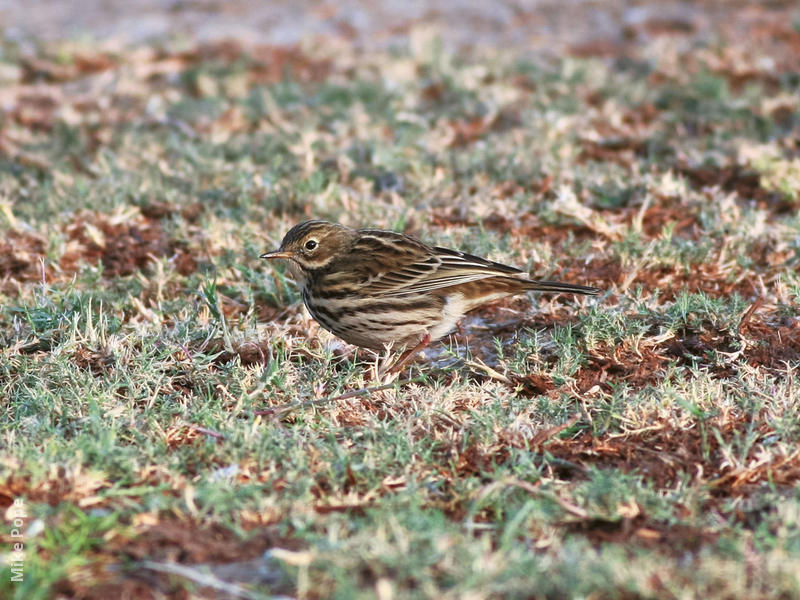 Meadow Pipit (Autumn)