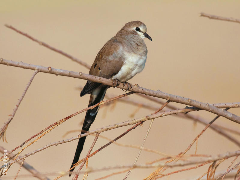 Namaqua Dove (Female)