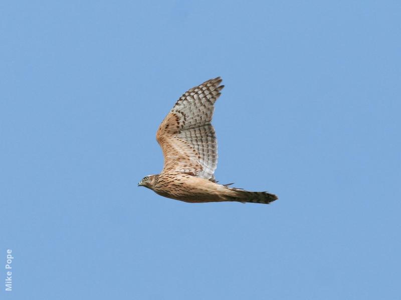 Northern Goshawk (Juvenile)