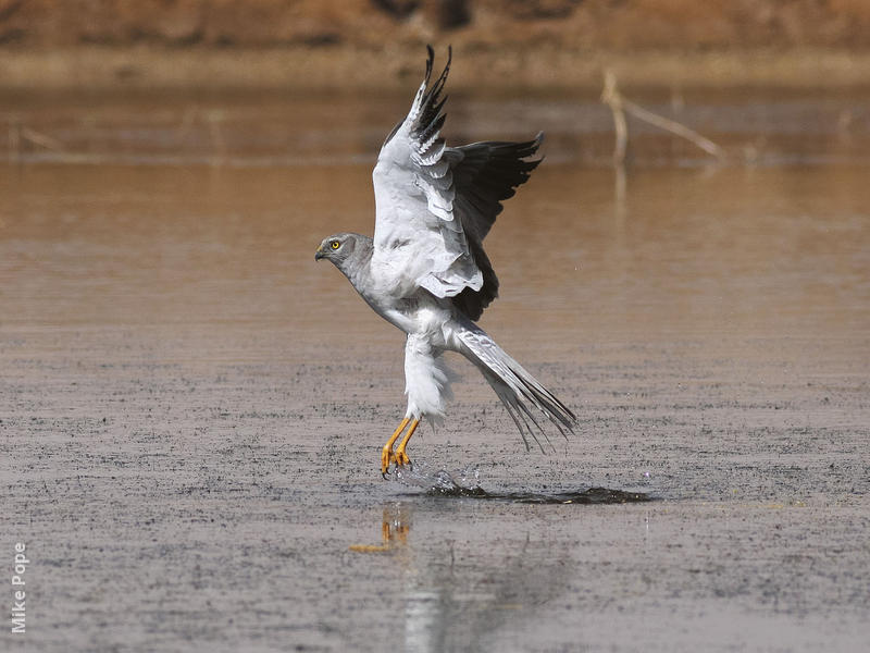 Pallid Harrier (Male)
