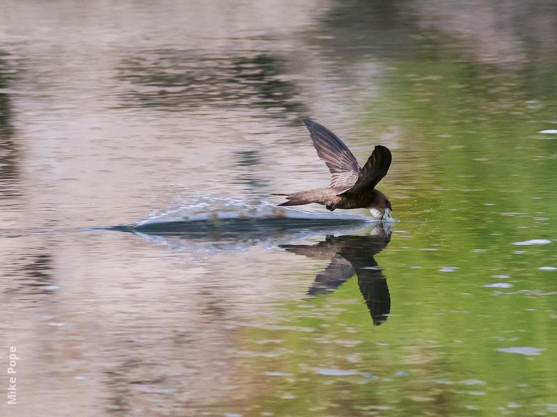 Pallid Swift (Drinking water)