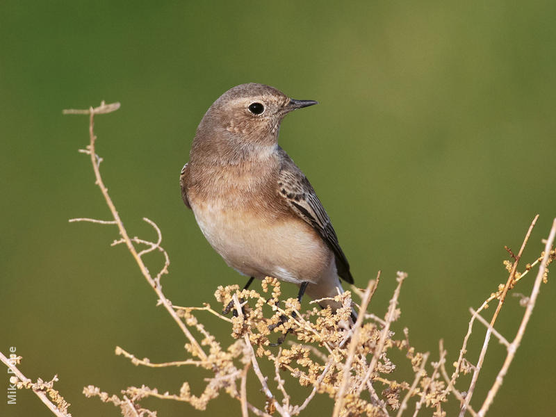 Pied Wheatear (Female)