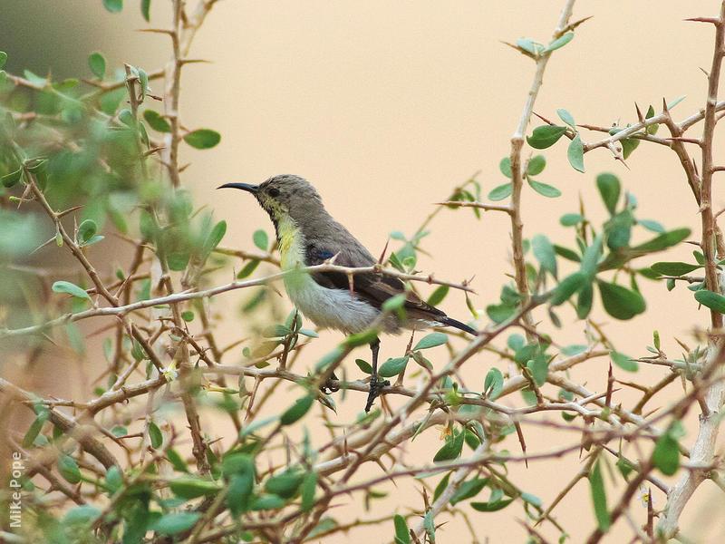 Purple Sunbird (Winter)