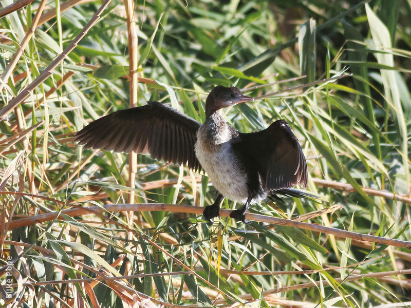 Pygmy Cormorant (Immature)