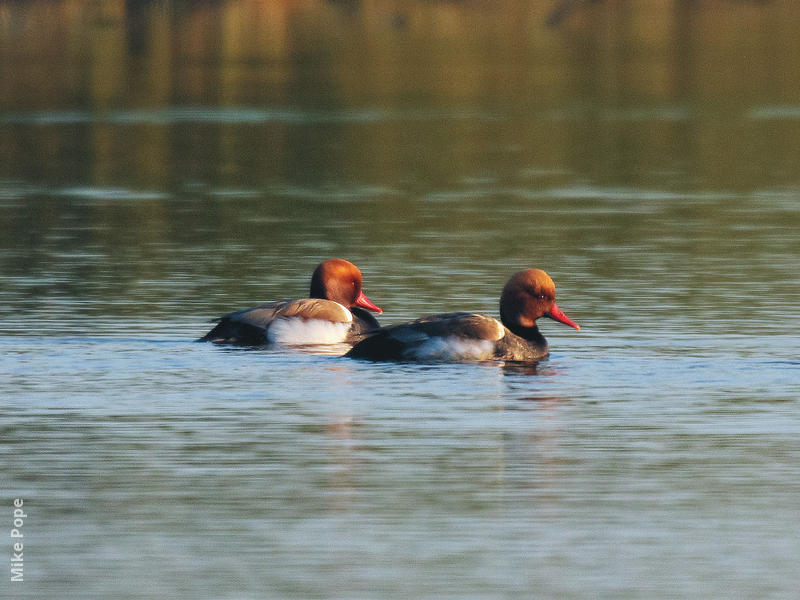 Red-crested Pochard (Males)