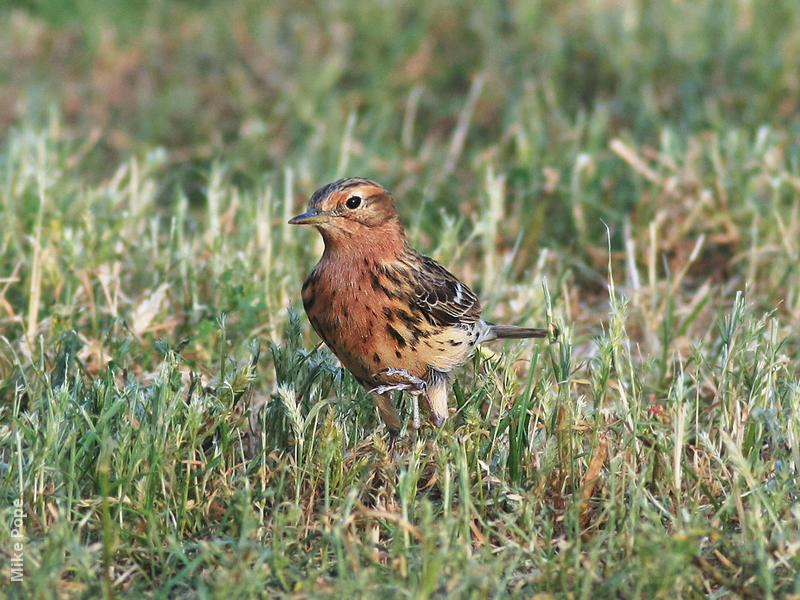 Red-throated Pipit (Spring)
