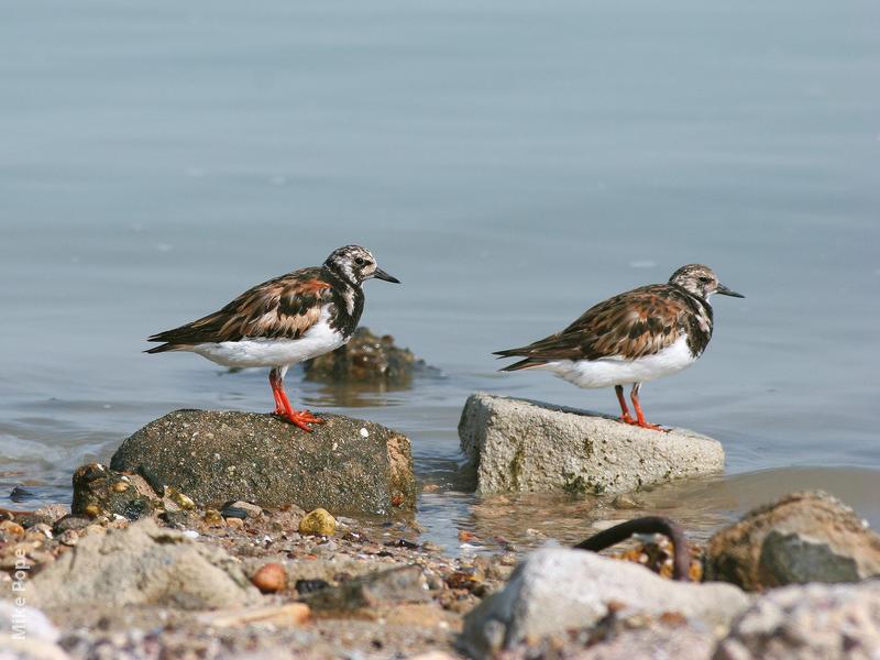 Ruddy Turnstone (Breeding plumage)